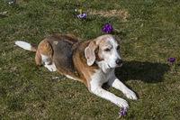 Beagle enjoying the spring sunshine