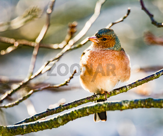 Common chaffinch bird sitting on a tree