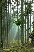 Light beam in the forest