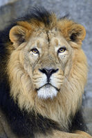 indischer Löwe (Panthera leo persica),  Portrait , Männchen, cap