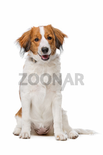 Brown and white Kooiker dog