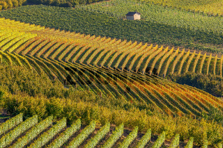 Row of autumnal vineyards.