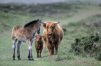 Highland Cattle, female with calf and Exmoor Pony foal