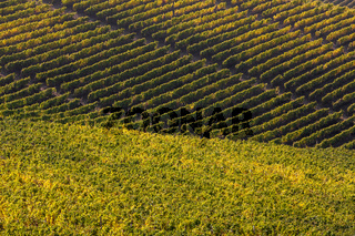 Autumnal vineyards of Langhe, Italy.