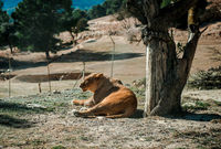 Lioness lie on a ground