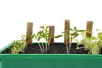 Verschiedene Setzlinge in Anzuchtschale - Different seedlings being cultivated
