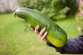 Zucchini or courgette fruit