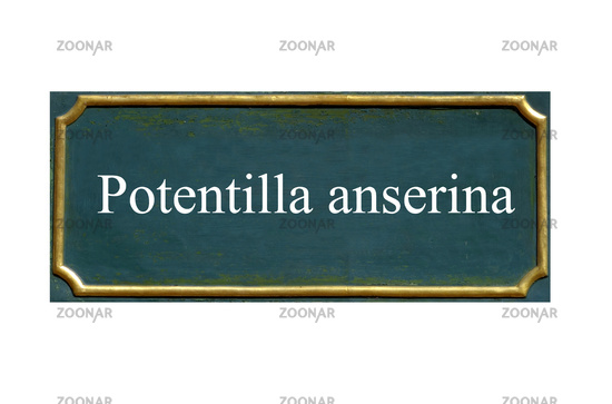 shield potentilla anserina