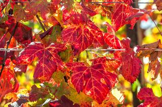 Colorful vineyard leaves.