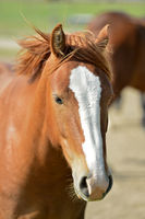 Arabian horse, Portrait