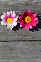 Margeriten pink auf Holzhintergrund