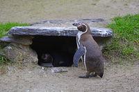 Brillenpinguin (Spheniscus demersus), Paar an und in Nisthöhle,