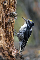 Eurasian Three-toed Woodpecker is normally a permanent resident