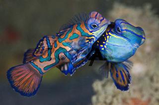 Paarung Mandarinfische, Indonesien