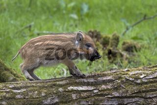 Wildschwein, Frischling auf einem Baumstamm, Schleswig Holstein, Deutschland / Sus scrofa