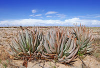landscape with aloe in Namibia