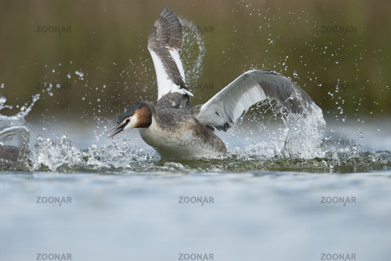 attack... Great Crested Grebe *Podiceps cristatus*