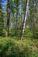 Birch forest at Spring time