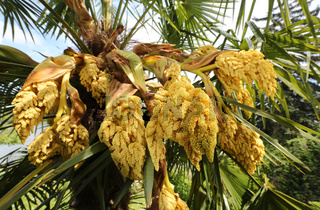 Hanfpalme Trachycarpus Fortunei