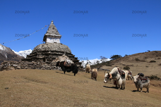 Yak herd carrying goods and stupa