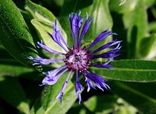 blaue blüte, Flockenblume von oben