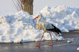 Weißstorch im Winter