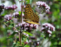 Oregano mit Schmetterling - Oregano with butterfly