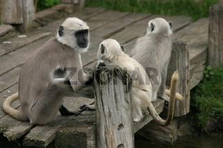 Heilige Affen - Hulman-Languren