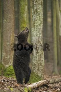 boah, is' dat hoch... Braunbär *Ursus arctos*