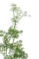 coriander - cilantro - coriandrum sativum