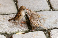 Sparrow Feeding Fledgelings