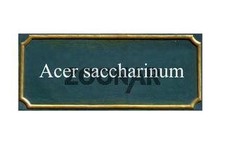 schild Acer saccharinum, Silber-Ahorn