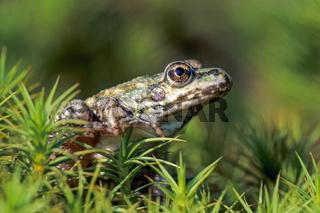 Teichfrosch ist ein hybridogenetischer Hybride entstanden aus dem Seefrosch und dem Kleinen Teichfrosch - (Wasserfrosch) / Edible Frog is the fertile hybrid of the Pool Frog and the Marsh Frog - (Common Water Frog - Green Frog) / Pelophylax kl. esculentus