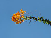 Blooming bougainvillea against the blue sky