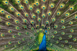 Peacock illustration with beautiful feather