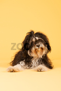 Tibetan Terrier on yellow background
