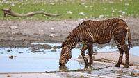 Mountain zebra full of mud, Etosha NP, Namibia
