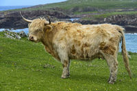 Cow, Scottish Highland Cattle or Kyloe, on a pasture, Scotland, Great Britain