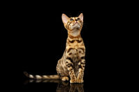 Bengal Kitty Sits and Looking Up on Black