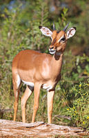 Impala in South Africa, Aepyceros melampus