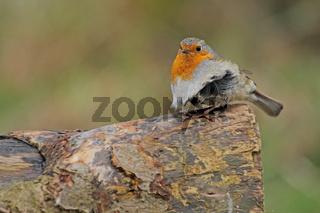 Rotkehlchen auf Baumstamm (Erithacus rubecula)