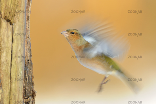 in motion... Common Chaffinch *Fringilla coelebs *