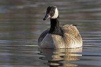 Canada goose (Branta canadensis) swimming, Hamburg, Germany, Europe