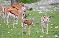 Young Springboks, Etosha NP, Namibia