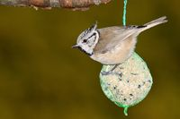 crested tit with fatball