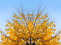Autumn tree on sky background