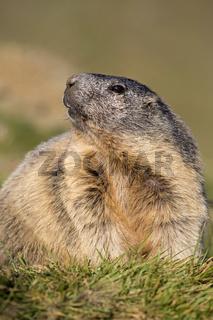 Alpenmurmeltier, Nationalpark Hohe Tauern, Kärnten, Österreich, Europa / Marmota marmota
