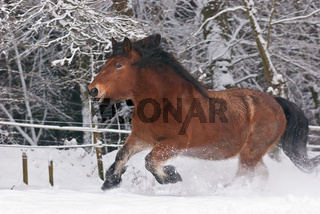 Galoppierndes Kaltblutpferd im Schnee