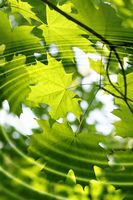 Branch of green maple with water ripples