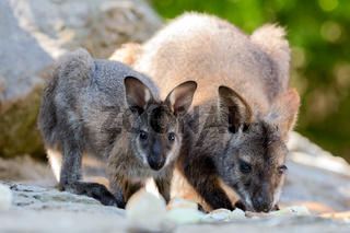 Closeup of a Red-necked Wallaby baby with mother